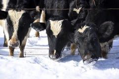 vaches trois Photographie stock libre de droits