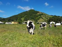 Vaches typiques des Açores, São Miguel Island, Açores - septembre 2016 images libres de droits
