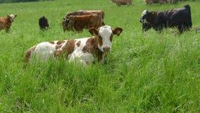 Vaches vivant en troupe sur des gras verts Photographie stock