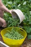 Vaciar la cesta de habas verdes recientemente escogidas Fotografía de archivo libre de regalías