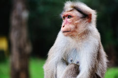 Vacillating. Pensive monkey sits quietly among the trees Stock Photography