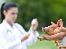 Vacinação dos leitão Imagens de Stock Royalty Free