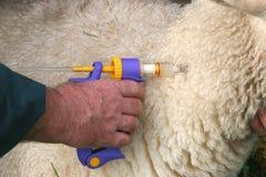 Vacinating ein Schaf Stockfoto