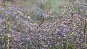 Vacklar violetta blommor för fältet från vinden lager videofilmer