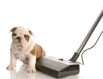 Vacuuming up after a new puppy Stock Photos