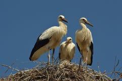 Vad är storkar som gör med deras extra- tid Arkivbild