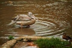 Vadande fågel med två fågelungar i förgrund Fotografering för Bildbyråer