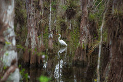 Vadande fågel på Florida träsk Arkivbild