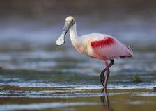 Vadande för Roseate Spoonbill i en grund lagun - Pinellas County, royaltyfri fotografi