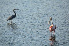 Vadande för Roseate spoonbill i vattnet på Merritt Island, Florida royaltyfri foto