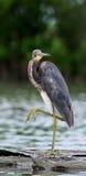 Vadande för Tricolored häger (den tricolor egrettaen) i grunt vatten Royaltyfria Foton