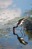 vadande vattenwaterfowl arkivfoton
