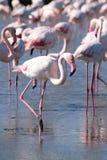 Vadeando o flamingo cor-de-rosa Imagem de Stock