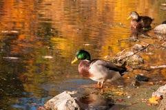 Vadeando o pato Fotografia de Stock