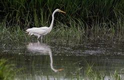 Vadear alba do grande Ardea do Egret na água fotos de stock