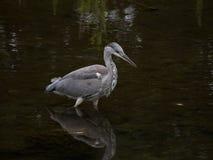 Vadear cinerea de Grey Heron/Ardea na caça do rio para peixes imagem de stock