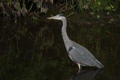 Vadear cinerea de Grey Heron/Ardea na caça do rio para peixes com a folha que alinha o banco foto de stock royalty free