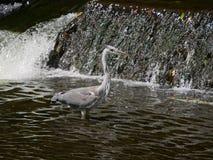 Vadear cinerea de Grey Heron/Ardea no rio com cachoeira/Weir atrás fotografia de stock