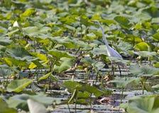 Vadear el egret Fotos de archivo