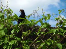 Vader Blackbird Royalty-vrije Stock Foto