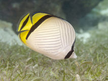 Vagabond butterflyfish Stock Photo