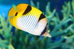 Vagabond butterflyfish Stock Image