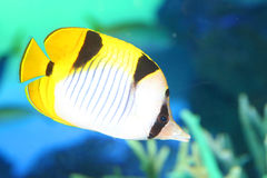Vagabond butterflyfish Royalty Free Stock Image