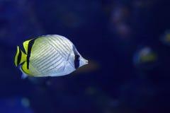 Vagabond Butterflyfish Chaetodon vagabundus Stock Photos