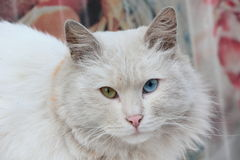 Vagabond cat with different eyes Stock Image