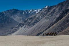 Vagabondo dei cammelli sulla duna di sabbia Fotografie Stock Libere da Diritti