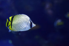 Vagabund Butterflyfish Chaetodon-vagabundus Stockfotos