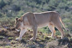 Vagabundeo de la leona Foto de archivo