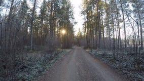 Vagando su una strada non asfaltata congelata fredda della foresta circondata dai pini vigorosi in sole di primo mattino in autun archivi video