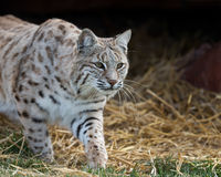 Vagar in cerca di predae del gatto selvatico Fotografie Stock Libere da Diritti