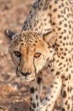Vagar in cerca di predae del ghepardo Fotografie Stock