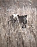 Vagar in cerca di predae della leonessa fotografie stock libere da diritti