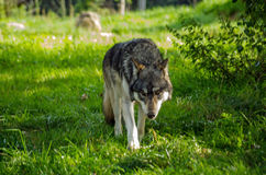 Vagar in cerca di predae europeo del lupo fotografia stock