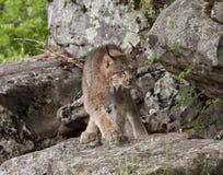 Vagar in cerca di predae Lynx Fotografie Stock Libere da Diritti
