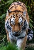 Vagar in cerca di predae sguardo fisso del ` s della tigre immagini stock
