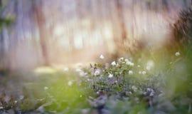 Vage achtergrond met de lentesleutelbloemen - bloemen van anemony stock fotografie