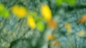 Vage bladeren als achtergrond op de boomherfst stock videobeelden