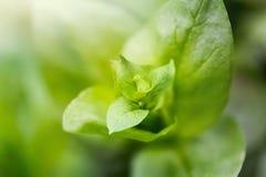 Vage groene installatie Stock Afbeeldingen