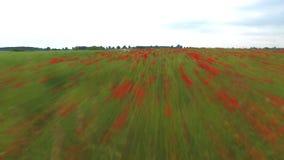 Vage rode papavers op het gebied, luchtmening stock video