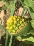Vagem da semente de Lilly do Calla Fotografia de Stock