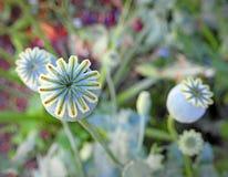A vagem da semente de papoila dirige plantas das flores Imagem de Stock Royalty Free