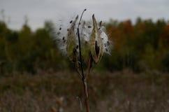 Vagem da semente do Milkweed foto de stock