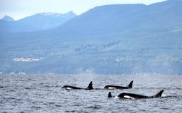 Vagem das orcas residentes da costa perto de Sechelt, BC fotografia de stock royalty free