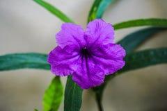A vagem de estalo floresce a flor roxa na manhã, foco seletivo com profundidade de campo rasa Fotografia de Stock