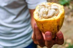 Vagem do cacau & feijões do cacau, Guatemala Foto de Stock