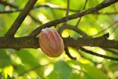 Vagem do cacau ou do cacau na árvore Fotos de Stock Royalty Free